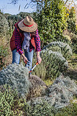 Woman pruning a Helichrysum (Helichrysum italicum) in late winter