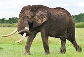 "African elephant (Loxodonta africana) with collar. Around twenty elephants ""big tuskers"" are equiped with a gps collar all around Kenya. Masai Mara national park. Kenya"