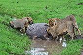 Lions (Panthera leo) eating a carcass of a hippo, Masai Mara national park, Kenya.