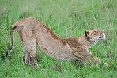 Jeune Lion (Panthera leo) s'étirant après la sieste, Parc national du Masai Mara, Kenya