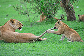 Lion (Panthera leo) cub playing with the tail of its mother, Masai Mara national park, Kenya.