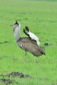 Kori bustard (Ardeotis kori) male during the mating season, Masai Mara national park, Kenya.