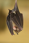 Sundevall's Leaf-nosed Bat (Hipposideros caffer) hanging