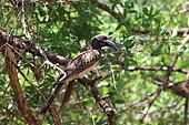 African Grey Hornbill (Tockus nasutus) on a branch