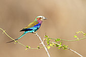 Lilac-breasted Roller (Coracias caudata) on a branch in South Luangwa NP, Zambia
