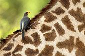 Yellow-billed Oxpecker (Buphagus africanus) on a Giraffe in South Luangwa NP, Zambia