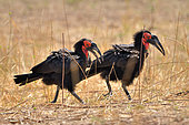Southern Ground-Hornbills (Bucorvus leadbeateri) in the savannah of South Luangwa NP, Zambia