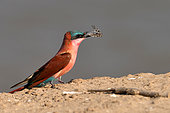 Southern Carmine Bee-eater (Merops nubicoides) with its prey (a cicada?) South Luangwa NP, Zambia