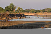 Hippopotamus (Hippopotamus amphibius) and landscape of the Luangwa River in South Luangwa NP, Zambia