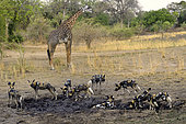 Thornicroft's giraffe (Giraffa camelopardalis thornicrofti) and pack of wild dogs (Lycaon pictus), no aggressiveness because the giraffe is much too big, South Luangwa NP, Zambia