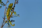Flapneck Chameleon (Chamaeleo dilepis) on a branch, South Luangwa NP, Zambia