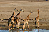 Thornicroft's giraffes (Giraffa camelopardalis thornicrofti) in the bed of the Luangwa River, South Luangwa NP, Zambia