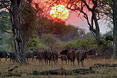Herd of African Buffalos (Syncerus caffer) in the evening in South Luangwa NP, Zambia