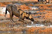 Lycaon (Lycaon pictus) drinking from a pool of water at sunset in South Luangwa NP, Zambia