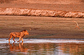 Lion (Panthera leo) walking at dawn in the bed of the Luangwa River in South Luangwa NP, Zambia