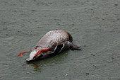 Canard colvert (Anas platyrhynchos) mort suite à la présence de cyanobactéries présentes dans la Rance à Saint-Samson-Sur-Rance, Bretagne, France