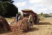 Old-fashioned threshing of buckwheat (Fagopyrum esculentum) in Côtes-d'Armor, Brittany, France