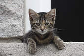 Domestic kitten on the edge of a window in Erquy, Brittany, France