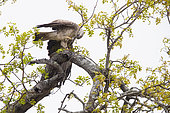 Wahlberg's Eagle (Hieraaetus wahlbergi), pale morph adult collecting branches for its nest, Mpumalanga, South Africa