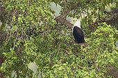 African Fish Eagle (Haliaeetus vocifer) on a branch, Mpumalanga, South Africa