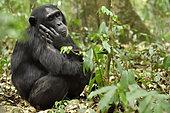 Common chimpanzee (Pan troglodytes) sleeping in the Kibale forest, Uganda.