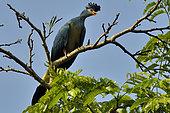 Touraco géant (Corythaeola cristata) perché dans un arbre, Forêt de Kibale, Ouganda