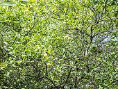 Citrus aurantifolia, Citrus paradisi