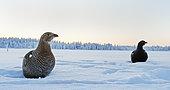 Black Grouse female (Lyrurus tetrix) on snow, Suomussalmi, Finland