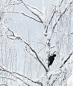 Black Woodpecker male (Dryocopus martius) on a trunk, Finland