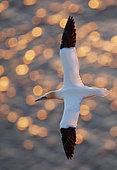 Gannet (Sula bassana) in flight, Shetland, UK