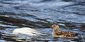Gannet (Sula bassana), Shetland, UK