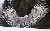 Great Grey Owl (Srix nebulosa) in snow, Kuhmo, Finland