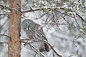 Great Grey Owl (Srix nebulosa) on a branch, Kuhmo, Finland
