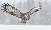Great Grey Owl (Srix nebulosa) in flight, Kuhmo, Finland
