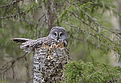Great Grey Owl (Strix nebulosa) at nest, Kuhmo, Finland