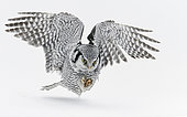 Hawk Owl (Surnia ulula) in flight, Kuhmo, Finland