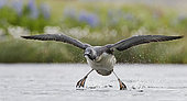 Red-throated Diver (Gavia stellata) in flight with prey, Iceland