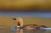 Red-throated Diver (Gavia stellata) on water, Iceland