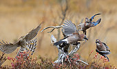 Sparrow Hawk (Accipiter nisus) chasing Jays (Garrulus glandarius), Norway