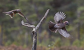 Sparrow Hawk (Accipiter nisus) chasing a Jay (Garrulus glandarius), Norway