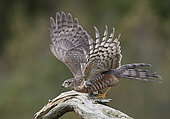 Sparrow Hawk juv. (Accipiter nisus) flying away, Norway