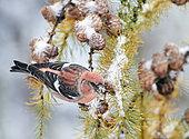 Two-barred Crossbill male (Loxia leucoptera) Feeding on Cone seeds, Helsinki, Finland
