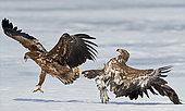 White-tailed Eagle (Haliaetus albicilla) fight in flight, Sodankylä Lokka, Finland