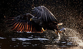 White-tailed Eagle (Haliaetus albicilla) catching a fish, Norway