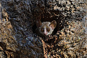 Madame Berthe's mouse lemur (Microcebus bertha) in the hole of a dry forest tree, Kirindy Forest, Menabe Region, Madagascar
