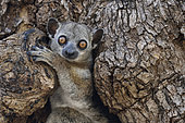 Red-tailed sportive lemur in the hollow of a dry forest tree, Kirindy Forest, Menabe Region, Madagascar