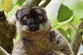 Hybrid lemur (Eulemur x) portrait, Pangalanes Canal - Lake Ampit, Atsinanana Region, Madagascar