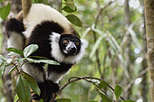 Black and White Ruffed Lemur (Varecia variegata) in the tropical rain forest, Pangalanes Canal - Lake Ampit, Atsinanana Region, Madagascar