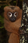 Red-bellied lemur (Eulemur rubriventer) portrait of male, Pangalanes Canal - Lake Ampit, Atsinanana Region, Madagascar