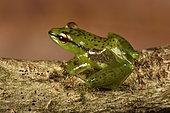Tsarafidy Madagascar Frog (Guibemantis pulcher) living on Pandanus, Andasibe (Périnet), Alaotra-Mangoro Region, Madagascar